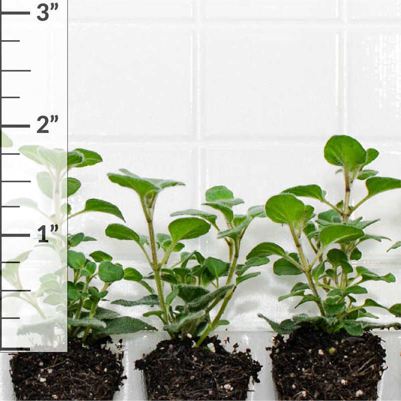 Oregano Hot 'n Spicy Plantlings (3 plants)