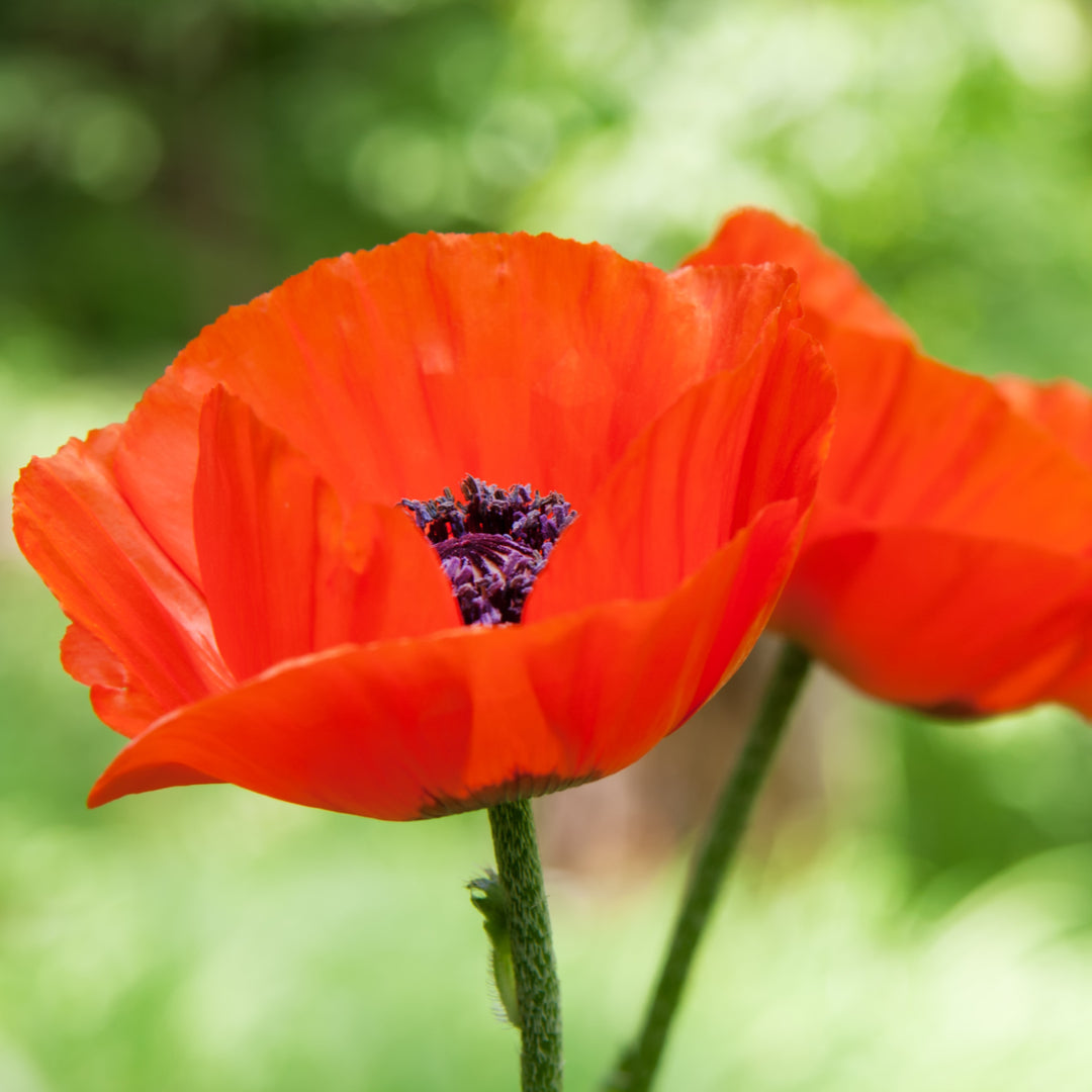 Poppy Oriental Mixed Colors Seed Ferry Morse Home Gardening