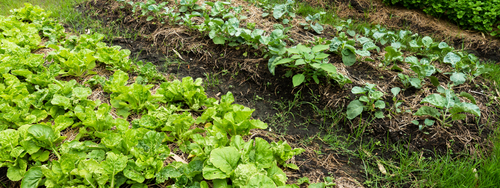 A vegetable garden grows in a backyard in designated planting spaces.
