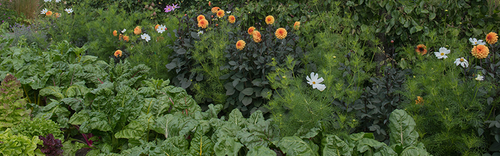 Chard, dahlias, cosmos and more growing together in a flourishing garden.