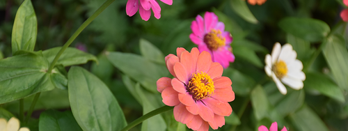 A close-up of salmon, pink and white colored zinnias against beautiful green foliage.