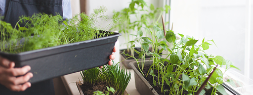 Herbs growing in windowsill containers next to a large window.