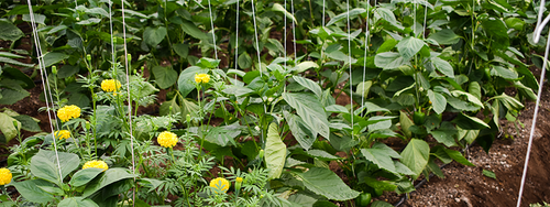Marigolds growing amongst pepper plants to ward off garden pests.