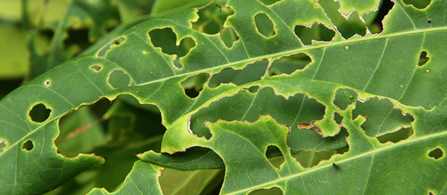 A close-up of a plant leaf that has been eaten away at by insects.