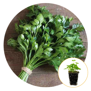 GIANT OF ITALY PARSLEY