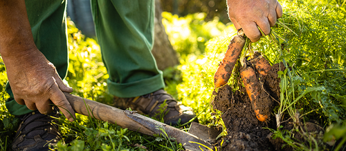 A gardener pulling fresh carrots out of their garden bed with the help of a small wooden-handled shovel.