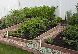 A home garden made up of mostly raised beds with rocks making pathways.