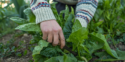 A gardener wearing a sweater to keep warm harvests some spinach from the garden.