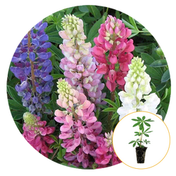 Mixed Colors Lupine in bloom, gorgeous pinks, blues and whites.