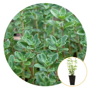 PICTURE OF ENGLISH THYME