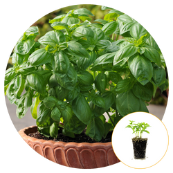 DOLCE FRESCA BASIL GROWING IN CONTAINER