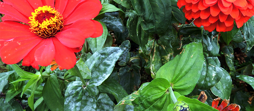 Red zinnias in bloom, their foliage is suffering from powdery mildew.
