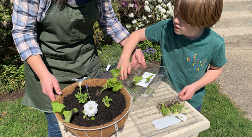 An adult and child gardener filling a hanging basket with some salvia as their thrillers and some white petunias as their spillers.