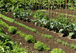 A garden growing plants in succession, you can see a row of peas flourishing all while some wild arugula grows in the foreground.