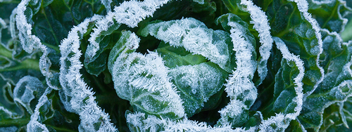 Brussels sprouts plant covered in frost crystals.