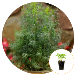 FERNLEAF DILL GROWING IN A CONTAINER