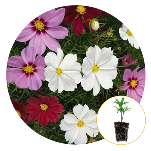 CASANOVA MIX COSMOS FLOWERS IN WHITE AND PINK AND RED BLOOMS