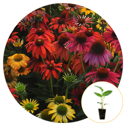 A FIELD OF BLOOMING COLORFUL CONEFLOWER