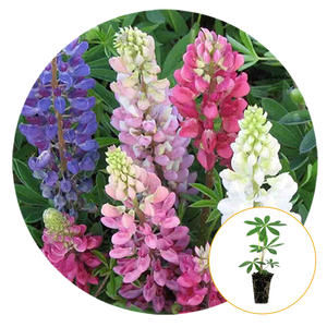 MIXED COLORS LUPINE BLOOMING IN PINKS AND WHITES AND PURPLES