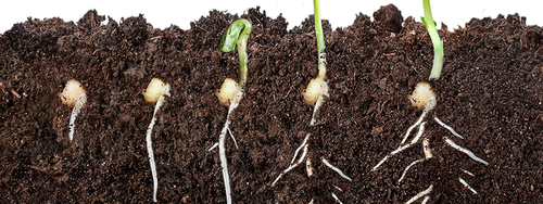 How a plant is grown from seed blog piece header image: image shows a seed germinating and growing in soil.