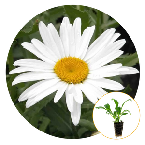 BLOOMING WHITE PETALED SHASTA DAISY, CLOSE-UP, WITH ITS WHITE BUTTERY CENTER