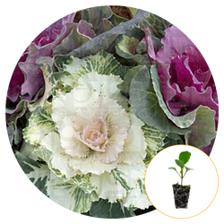 ORNAMENTAL CABBAGE FULLY MATURED