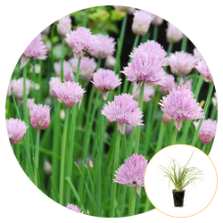 A FIELD OF BLOOMING CHIVES