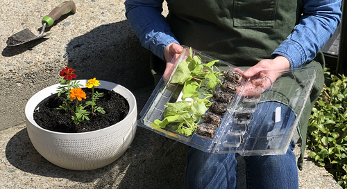 Gardener using marigolds as a filler piece and soon transplanting sweet potato vine seedlings as the spiller piece of a white container.
