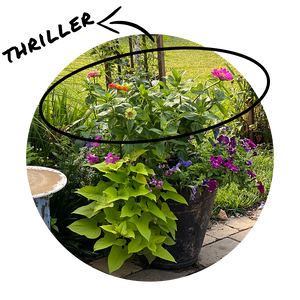 Circular image of a statement container with beautiful blooming zinnias as the