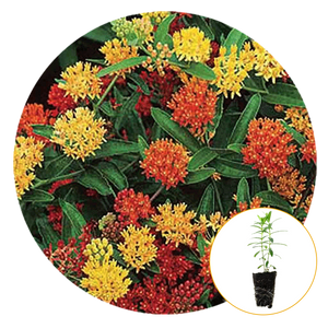 BUTTERFLY WEED IN COLORS OF YELLOW AND ORANGE