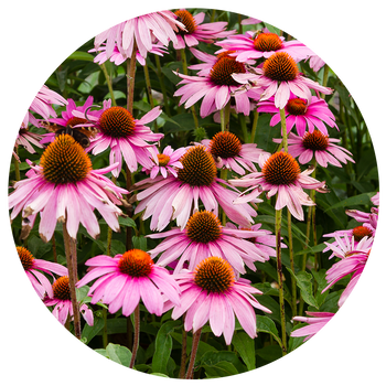Purple coneflowers in bloom against green foliage.