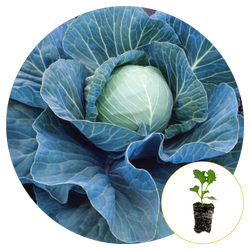 STONEHEAD CABBAGE FULLY MATURED AND READY TO HARVEST