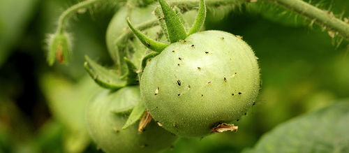 A group of aphids eating away at a ripening green tomato.