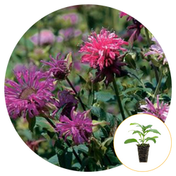 PURPLE AND PINK BEE BALM FLOWERS BLOOMING