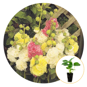 CHATERS DOUBLE MIXED COLORS HOLLYHOCK