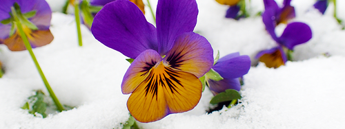 A viola is in bloom, with beautiful purple and yellow petals, sitting in a blanket of fresh snow.