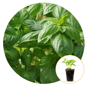 DOLCE FRESCA BASIL PLANTLINGS, CLOSE-UP OF PLANT