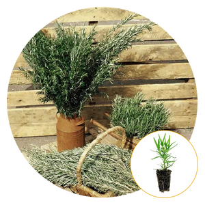 BARBECUE ROSEMARY PLANT