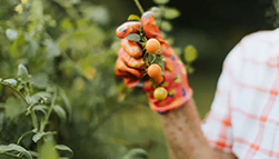 A woman holding some tomatoes.