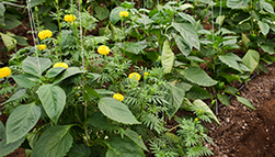 Marigolds and pepper plants growing together in a garden, example of companion planting.