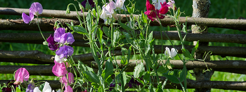 Sweet pea flowers blooming against a wooden fence.