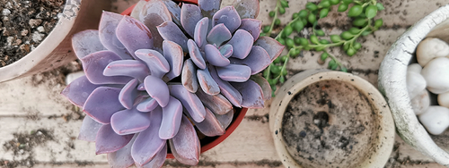 Top down photo of a potted succulent next to some containers and another houseplant.