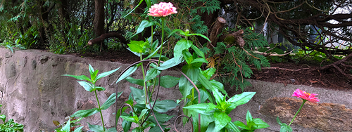 Close-up of the top of an iron trellis being used in place of a stake to support wind-blown zinnias.