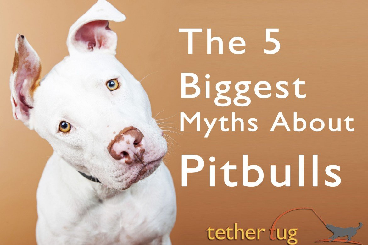 The 5 Biggest Myths About Pitbulls – Busted! - Tether Tug