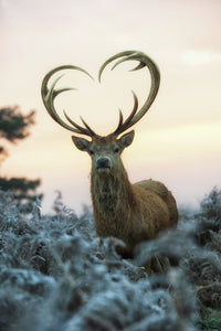 The Stag with heart shaped antlers 1