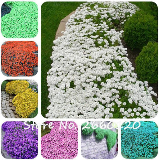 100 Pcs Colorful Rock Cress Seeds Or Creeping Thyme Seeds - Perennial Ground Cover Flower, Foliage-Garden Supplies-HappyGarden Store-1-EpicWorldStore.com