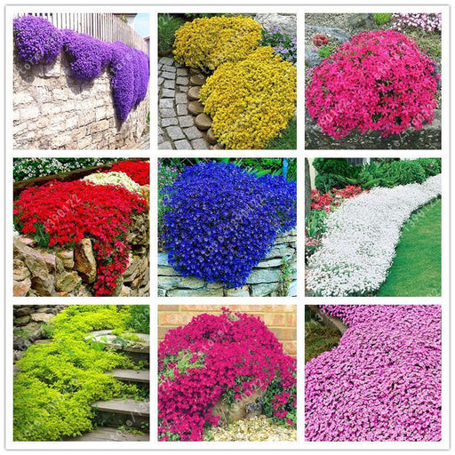 100 Pcs/Bag Creeping Thyme Seeds Or Multi-Color Rock Cress Seeds - Perennial Flower Seeds Ground-Garden Supplies-meiren bonsai Store-2-EpicWorldStore.com