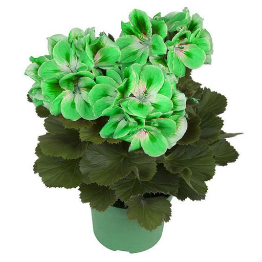 100 Pcs/Bag Geranium Seeds Rare Variegated Geranium Seed Potted Winter Perennial Garden Flower For-Garden Supplies-Miniature Garden Store-1-EpicWorldStore.com