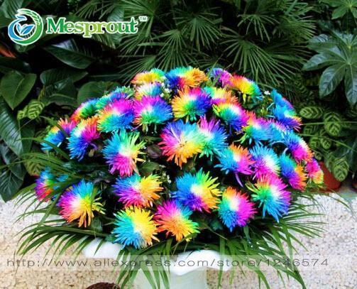 100Pc Rainbow Chrysanthemum Flower Seeds, Ornamental Bonsai, Rare Color ,New Choose More-Garden Supplies-Shasha Garden Store-EpicWorldStore.com