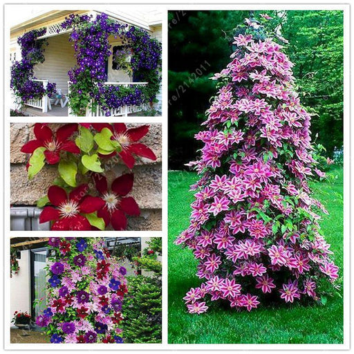100Pcs/Bag Clematis Seeds Flower Clematis Vines Bonsai Flower Seeds Perennial Flowers Climbing-Garden Supplies-AngelaTea Store-1-EpicWorldStore.com